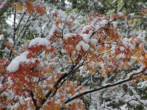 雪が積もった紅葉